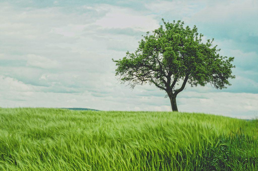 single tree in grassland against blue sky background